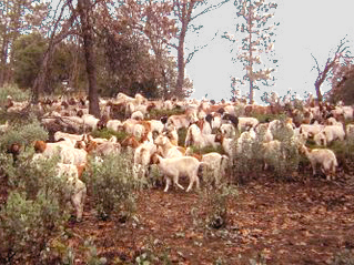 Goats on the Round Tuit Ranch